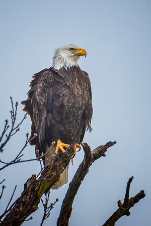 12.29.19 - Eastern Benton County: American Bald Eagle (#94)