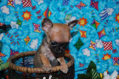 2013 Chihuahuas Adopted