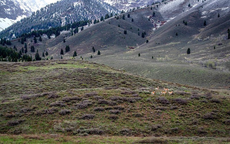 113.Max Burke.1.Antelope on Boulder Mountain Slopes.jpg