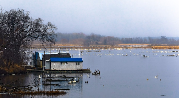 Tundra Swans - Brownsville