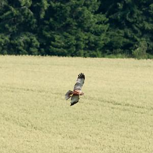 030-20 Circus aeruginosus, Brun kärrhök, Western Marsh-Harrier
