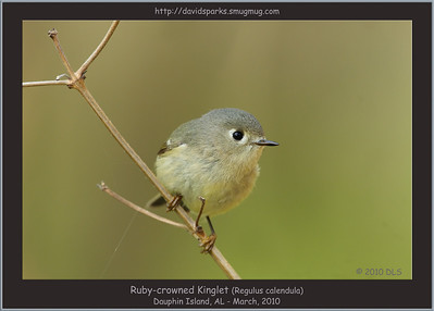 Dipper, Kinglets, Gnatcatchers