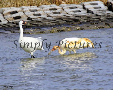 Mom and baby whooping cranes