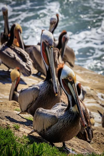Pelicans in La Jolla, California