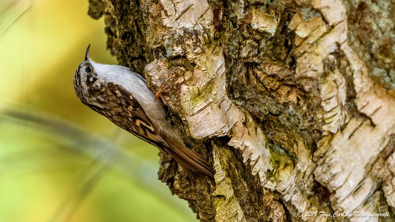 Træløber - Certhia familiaris - Eurasian Treecreeper