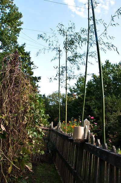 I'm following my friend Jeana's idea to put a series of tall bamboo poles around the out side of the garden and then to crisscross the space with twine that will keep hawks from diving into the garden, Stephen and Reg did a great job even though....