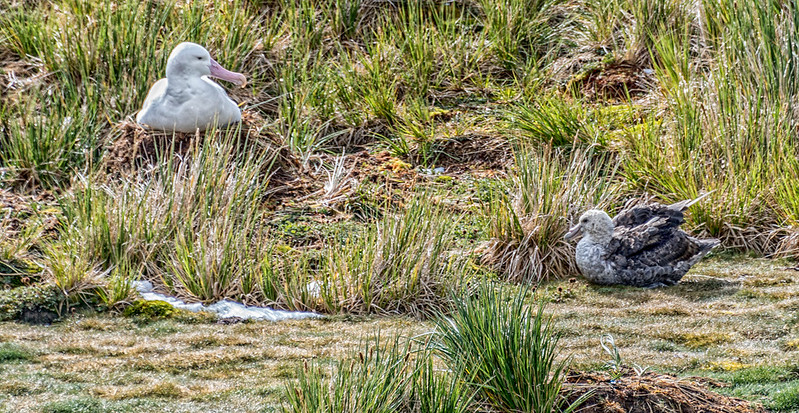 Albatross_Prion Island_South Georgia-3.jpg