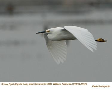 Snowy Egret  A53376.jpg