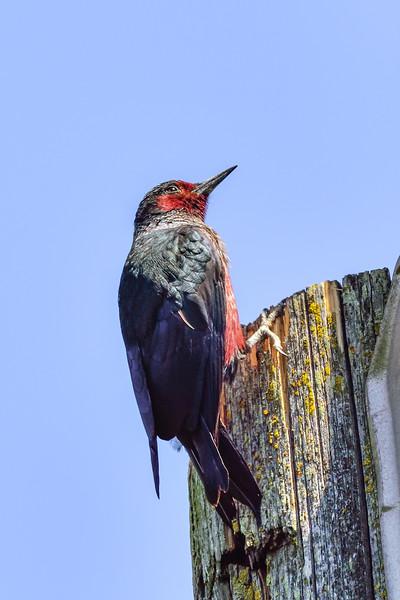 Lewiss Woodpecker