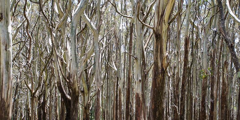 Alpine ash trees