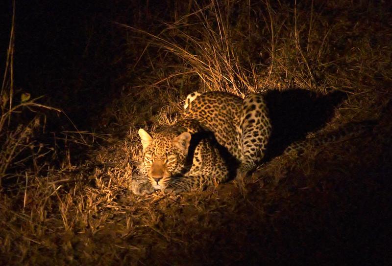 019 S Luangwa - Leopard Stalking - 0091.jpg
