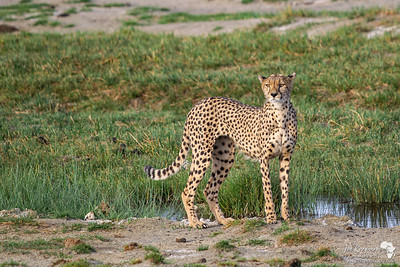 Cheetah looking for Prey
