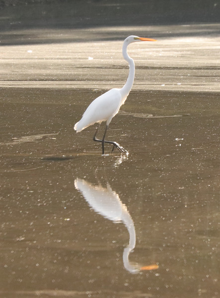 Great white egret 52