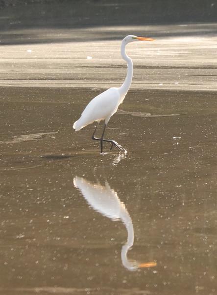 Great white egret 52