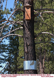 Lewis'WoodpeckerN62954.jpg