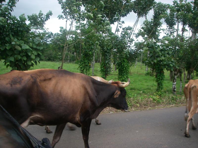 CowsBulls.JPG