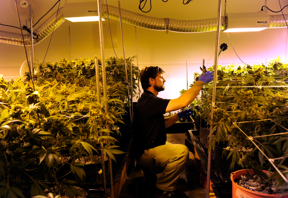 . Nick Hice, cultivation facility manager at Denver Relief harvests several of the plants getting them ready for the drying process. Kayvan Khalatbari owns Denver Relief, a marijuana growing, dispensary, and consulting business.Khalatbari and his employees are  meticulous in their marijuana cultivation from start to finish and says the process takes constant care and vigilance by anyone considering growing the plant. (Photo By Kathryn Scott Osler/The Denver Post)