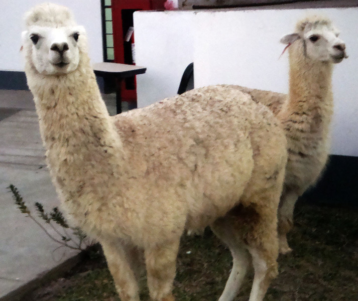 As the sun set, I met these two llamas that had wandered up to the door of the lecture theatre. They wandered around the veterinary school grounds. Here one is just about to spit at me! Note the flattened ears...