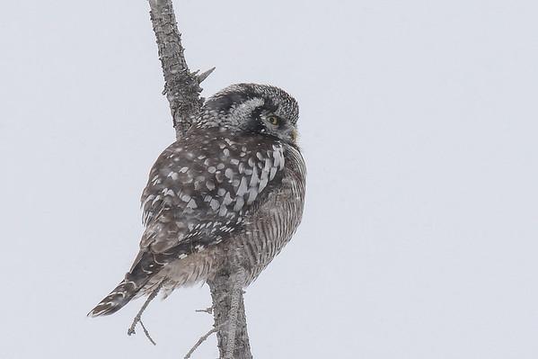 4 2013 Apr 11 Northern Hawk Owl