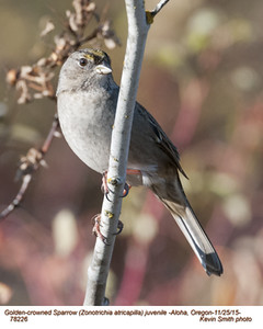 Golden-crowned Sparrow J78226.jpg