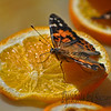 The Painted Lady Butterfly  <br /> Desert Botanical Gardens <br /> Phoenix, AZ<br /> <br /> Who would guess butterflies love oranges!