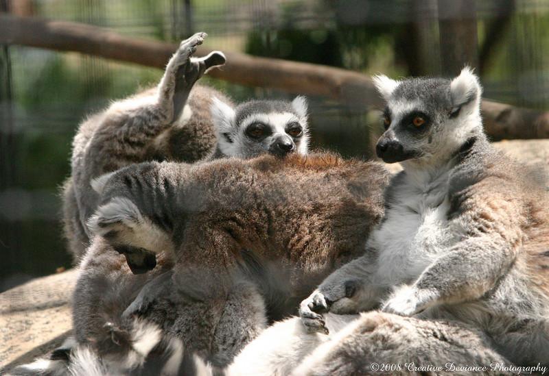 Lemurs5.JPG
