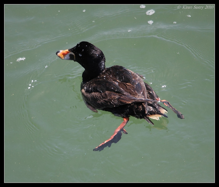 Surf Scoter, Imperial Beach Pier, San Diego County, California, April 2010