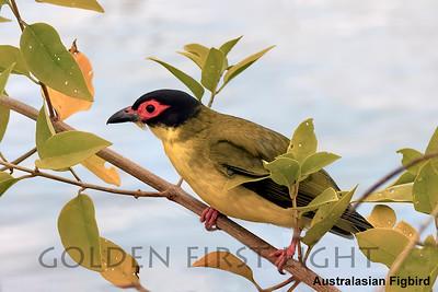 Australasian Figbird, Australia