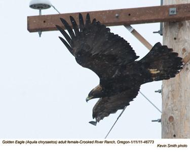 Golden EagleF46773.jpg