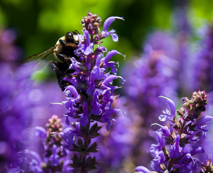 purple flowers and a bee.jpg