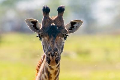 giraffe & Antilope