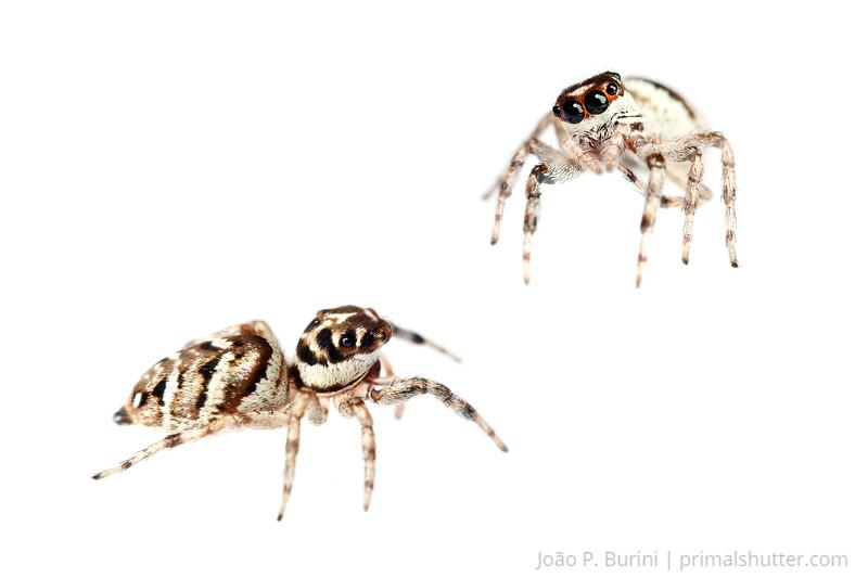 Jumping spider (Salticus species) Sorocaba, SP, Brazil August 2012 Urban