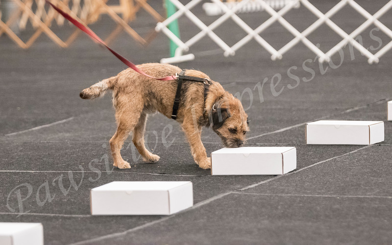 AKC Scent Work Novice Containers Sat 10 13 2018 @ CCSC