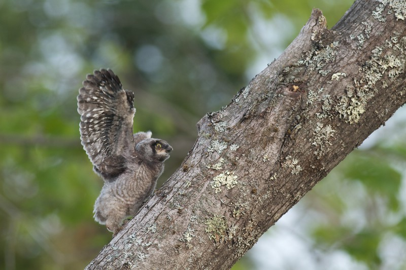 Northern Hawk Owl baby juvenile Owl Ave Sax-Zim Bog MN IMG_1223.jpg