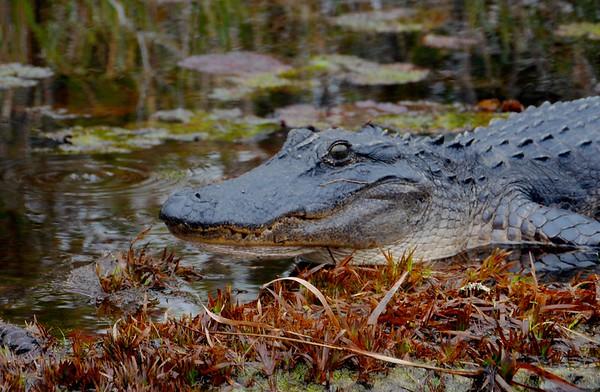 More Gators 2016