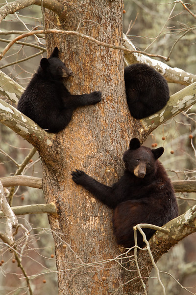 Two black bear cubs resting in a Sycamore tree with mom