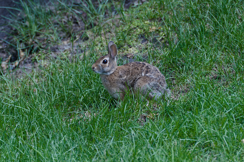 Mr. Bunny
