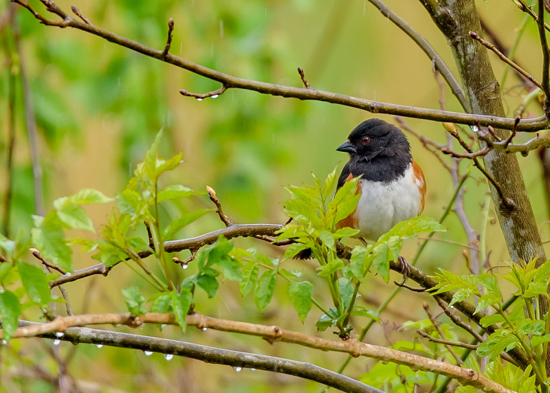an Eastern Towhee at Falling Springs Bird Sanctuary, French Lick, IN