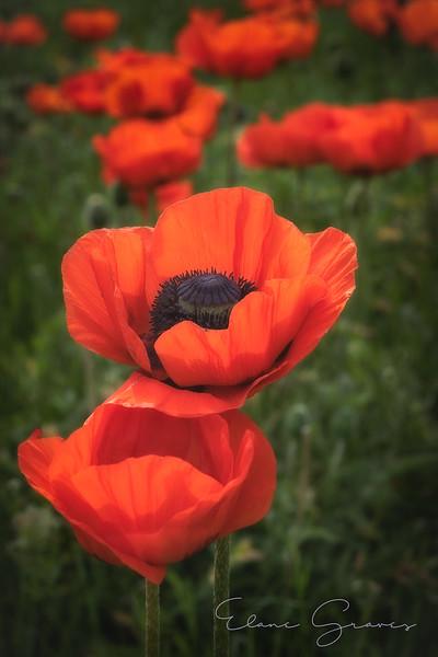 Poppies-1-2.jpg
