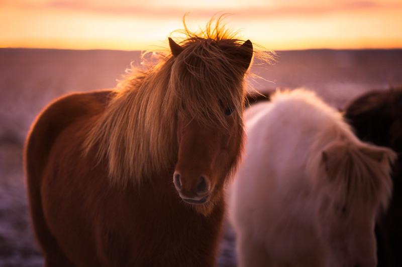 Iceland Horses 2.jpg