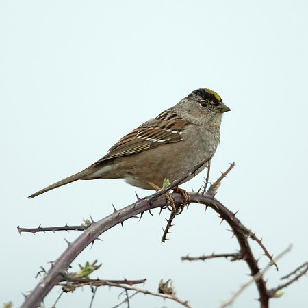 Goldencrowned Sparrow