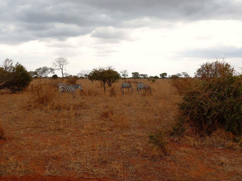 Zebras Tsavo East.jpg