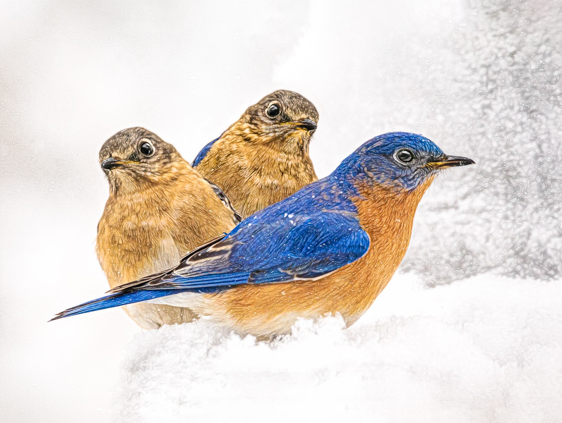 JWS_4430-MFthreeSNOWblue birds2018MF2Composit.jpg