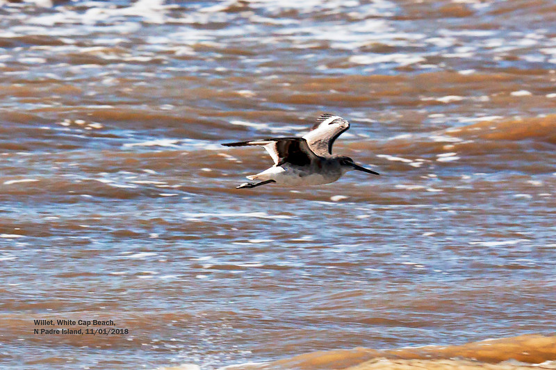IMG_8638 3T Willet flying White Cap Beach N Padre Island.jpg