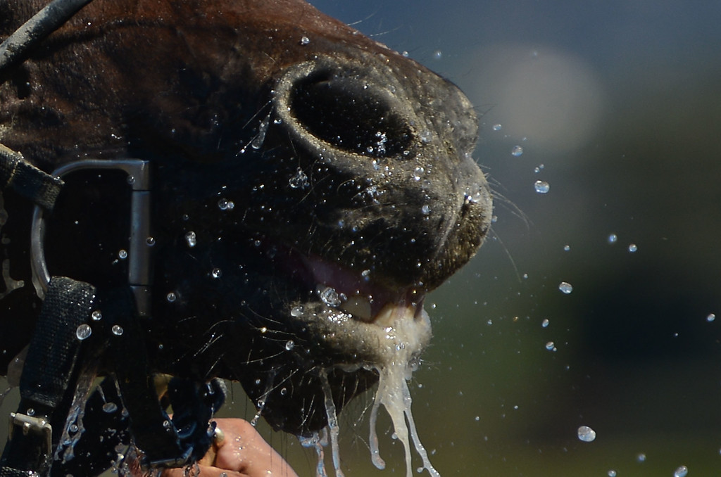 ". Horse  ""Ria Antonia\"" (5) who won the fourth race gets a cold bath during the Breeders\' Cup at Santa Anita Park in Arcadia, Calif., on Saturday, Nov. 2, 2013.    (Keith Birmingham Pasadena Star-News)"
