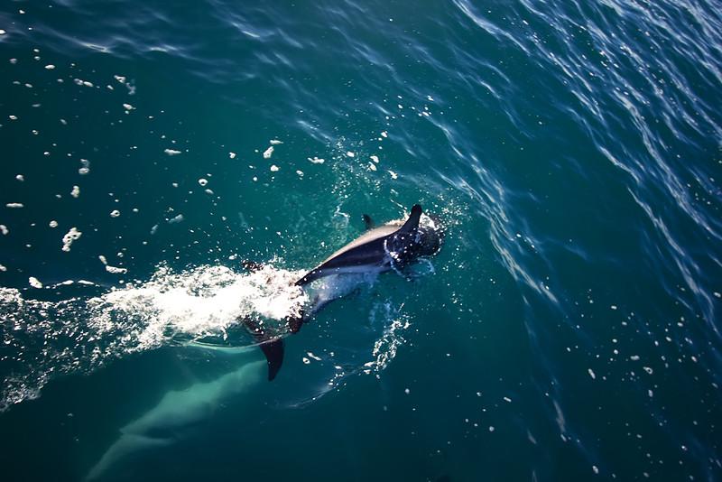 Dolphine kaikoura swim dive