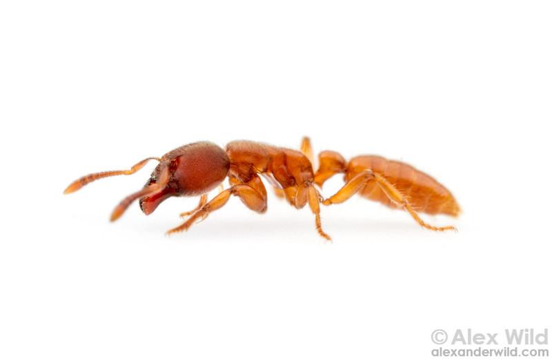 Typhlomyrmex rogenhoferi