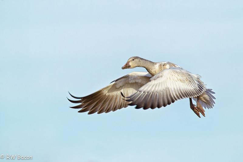 Snow Goose (Juvenile) Bosque del Apache San Antonio, NM