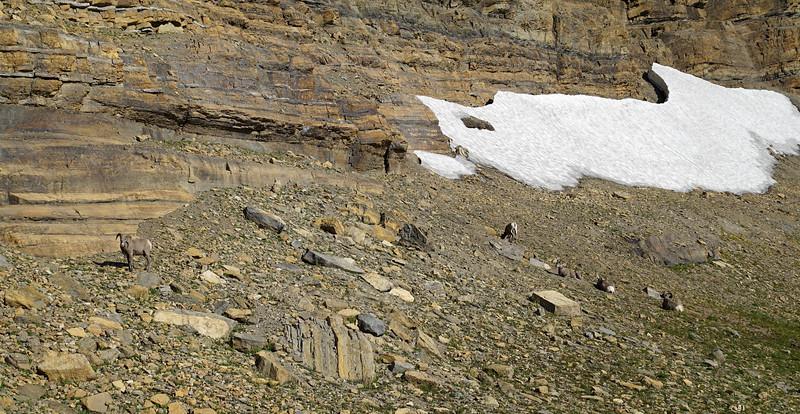 Bighorn sheep peacefully eating rocks(?) near the top :P