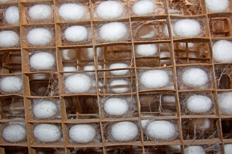 silkworm cocoons ready for processing